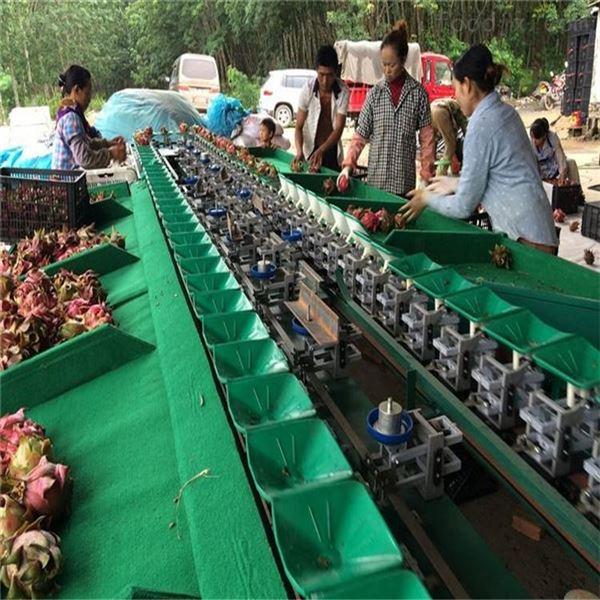 广东湛江火龙果选果机  不损伤叶柄的设备