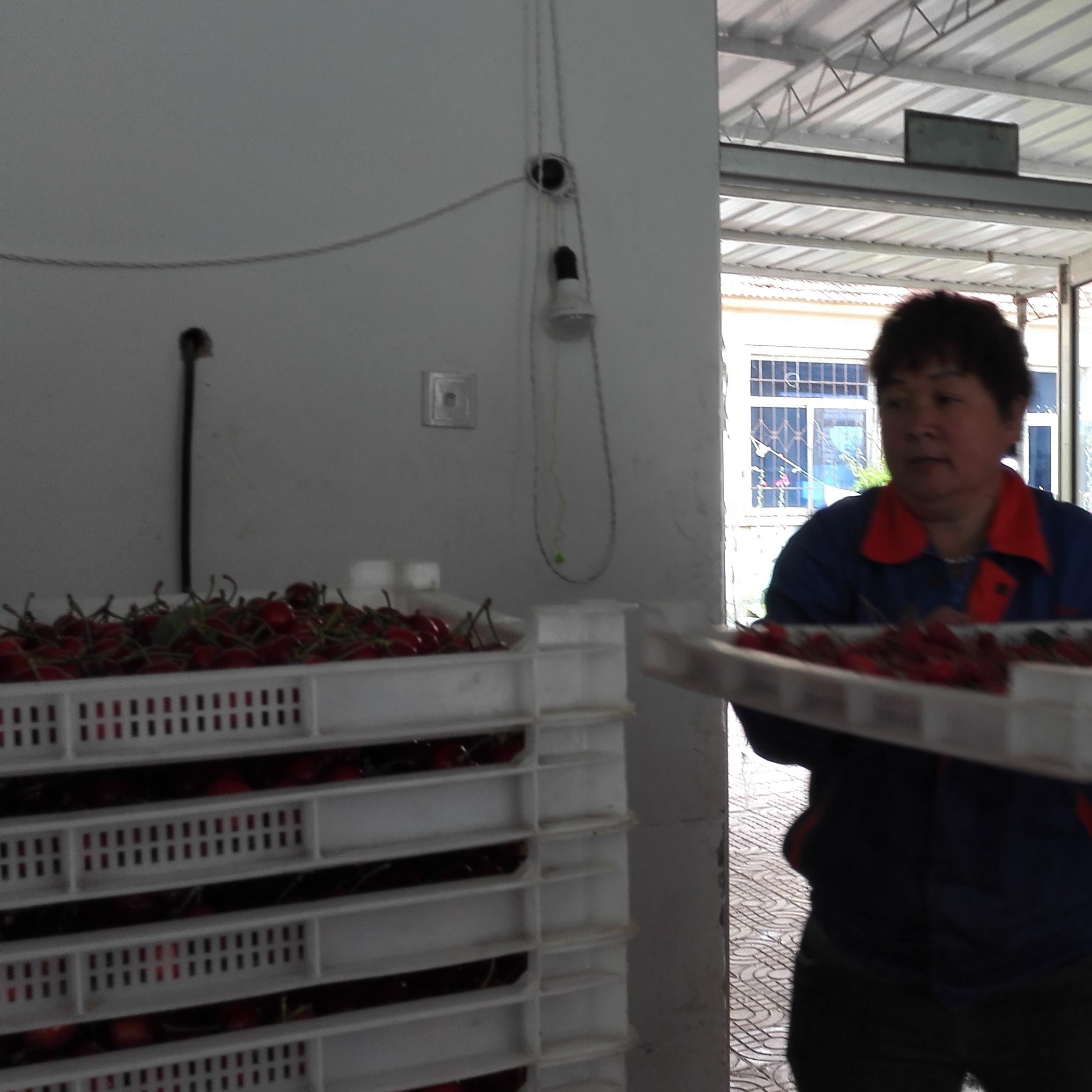 黑珍珠樱桃采后处理设备 樱桃预冷分选机