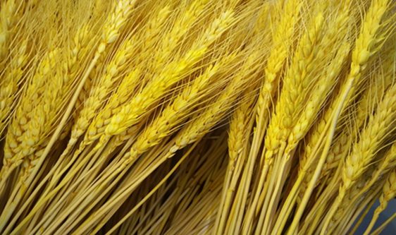 旋風渦流分離技術引發加工革命 推動小麥糊粉層產業化發展