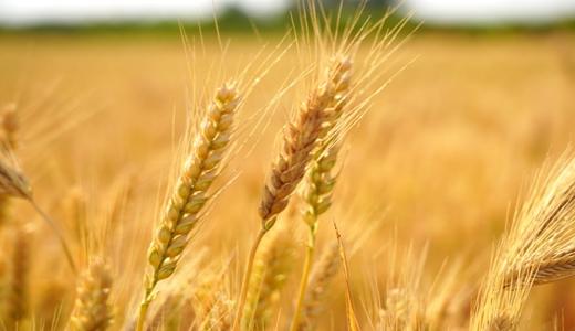 夏糧產量再創新高 清雜機、烘干機成減損提質好幫手